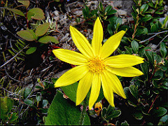 Homeopathic Remedy Arnica